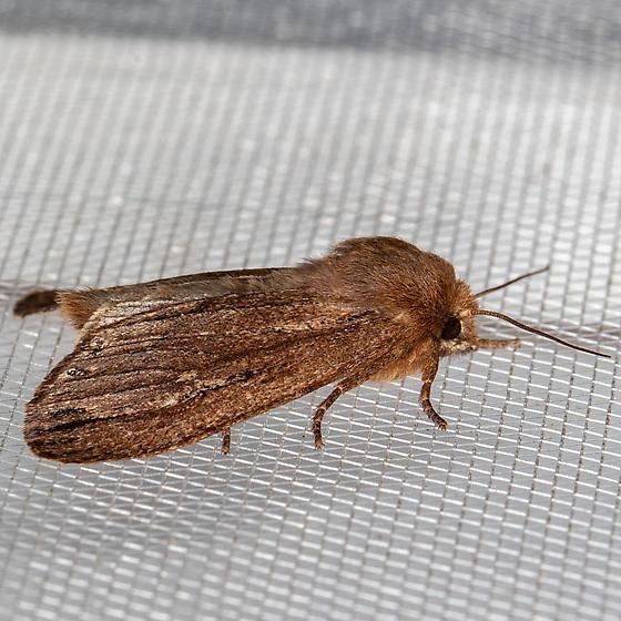 Grote's Satyr Moth - Ufeus satyricus