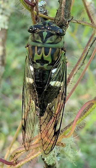 Cicada - Neotibicen latifasciatus