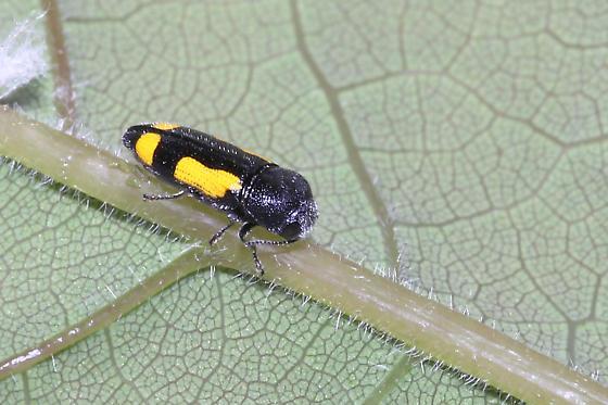 Redbud Borer - Ptosima gibbicollis