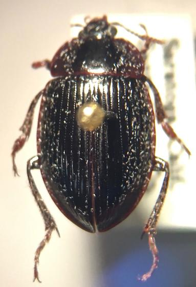 California beetle ID - 1 - Necrophilus hydrophiloides