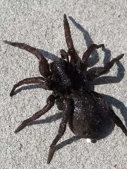 Spider ID - Tigrosa