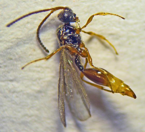 Hymenoptera - Miota