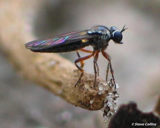 Townsendia nigra - female