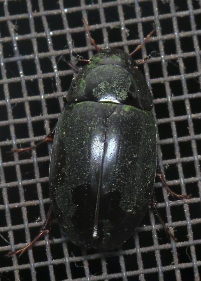 Unknown beetle - Hydrophilidae? - Hydrochara