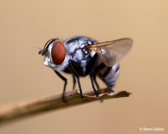 Fly - Gymnoclytia occidua - female