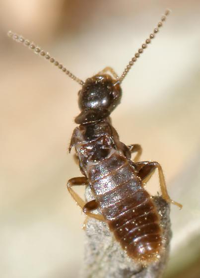 termite reproductives - Reticulitermes