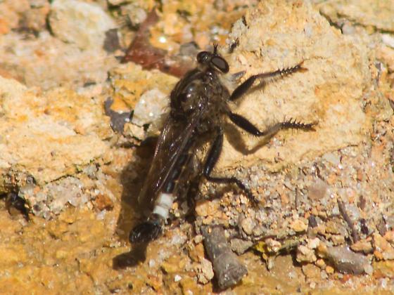White-banded robber fly - Efferia pogonias