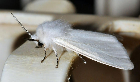 white winter moth - Hyphantria cunea