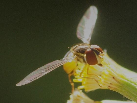 Syrphid S - Toxomerus occidentalis - female