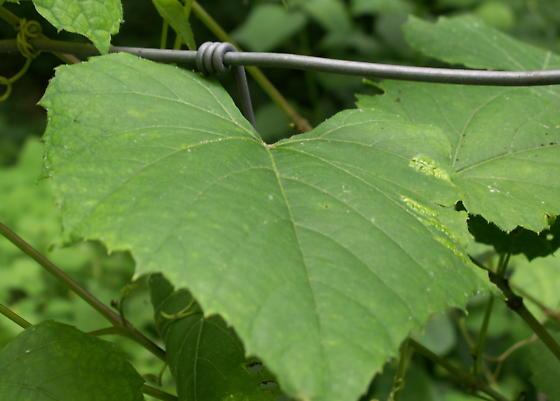 Heliozela aesella - Hodges#0230 - Heliozela aesella