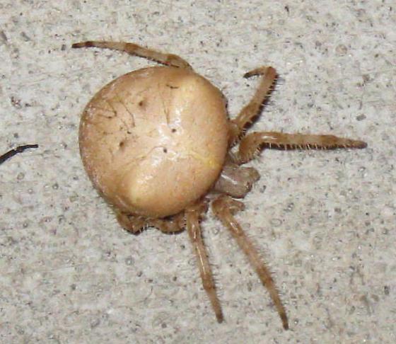 Large Abdomen Tan Spider - Araneus gemmoides