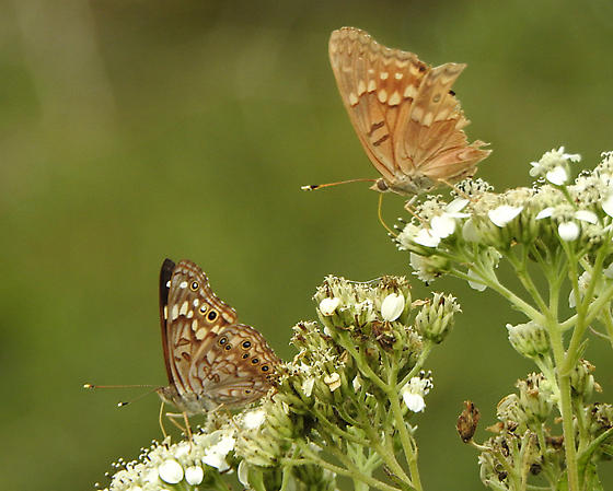 Hackberry (left) with Tawny Emperor ? - Asterocampa