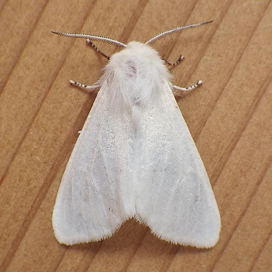 Erebidae: Hyphantria cunea - Hyphantria cunea