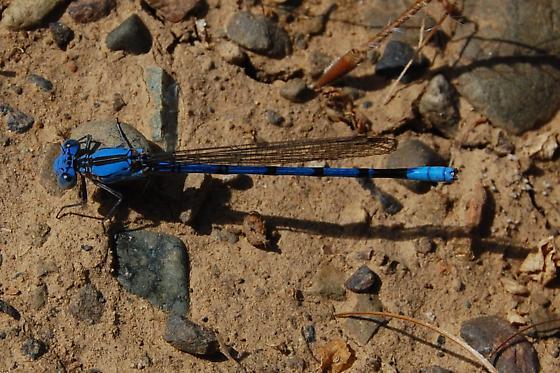 Unknown Zygoptera - Argia agrioides - male