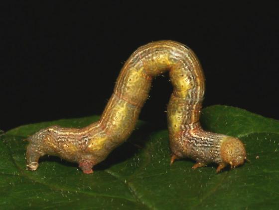 Geometridae on Dogwood, lateral - Cleora projecta