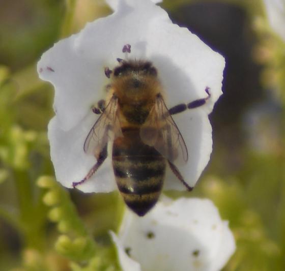 Type of bee? - Apis mellifera