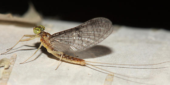 Mayfly - Leucrocuta hebe - male