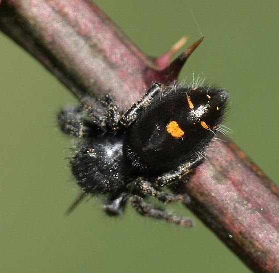Dark jumping spider with yellow spots - Phidippus audax