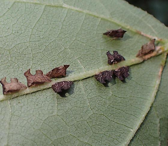 bug on leaf vein - Entylia