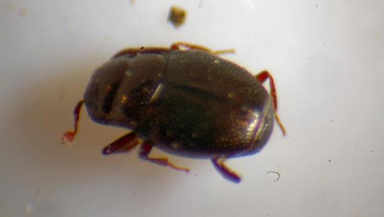unknown beetle - Plegaderus