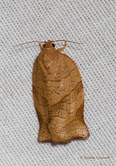 McFarland Park moth - Choristoneura rosaceana
