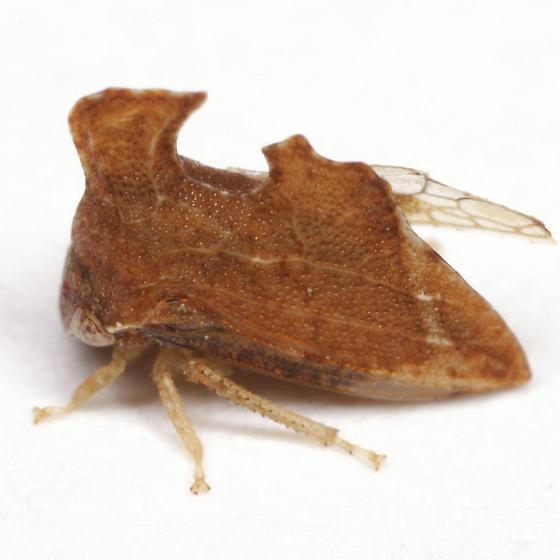 Entylia carinata (Forster) - Entylia carinata