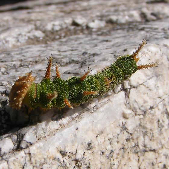 Green Caterpillar - Adelpha californica