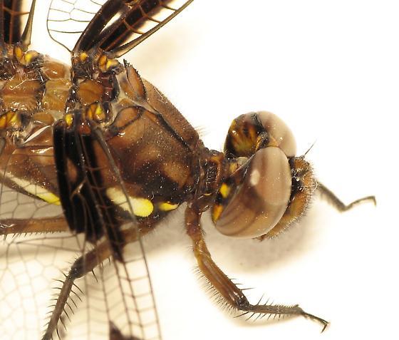Common Whitetail Dragon Fly? - Plathemis lydia - female