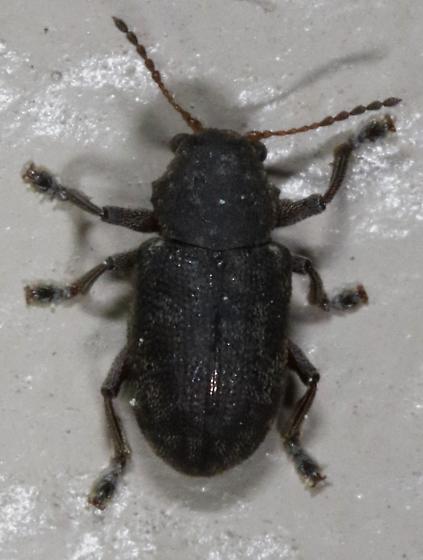 Weevil - Myochrous