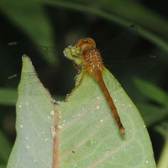 Sympetrum sp. - Sympetrum vicinum - male