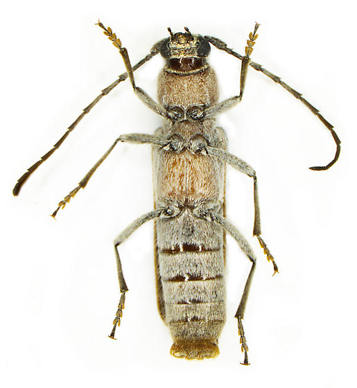 Chrotoma dunniana - female