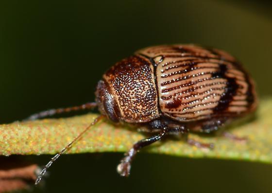 Small leaf beetle - Cryptocephalus implacidus