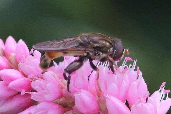 Syrphid fly - Tropidia quadrata