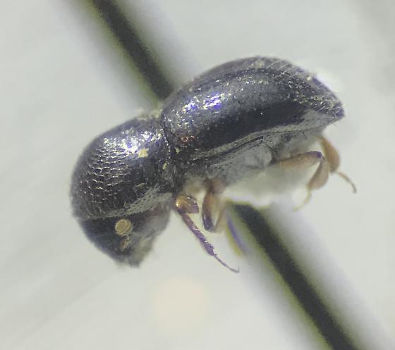 Scolytinae - Xylosandrus germanus