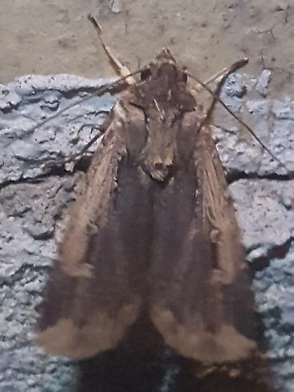 Noctuid sp. - Feltia subterranea