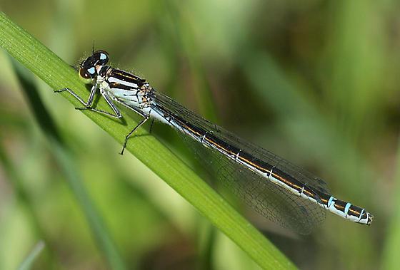 Prairie Bluet ? - Coenagrion angulatum - female