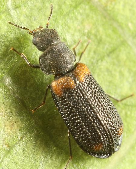 Small beetle - Melyrodes basalis