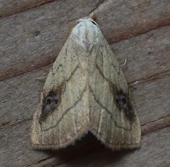 Erebidae: Rivula propinqualis - Rivula propinqualis