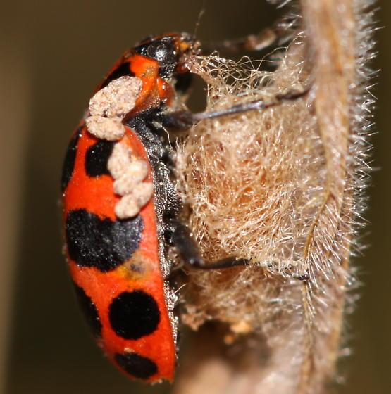 ladybird with parasite - Dinocampus coccinellae