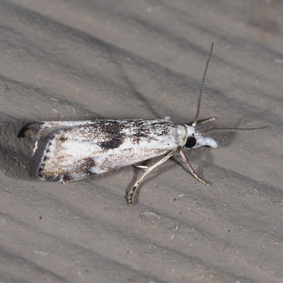 Microcrambus minor
