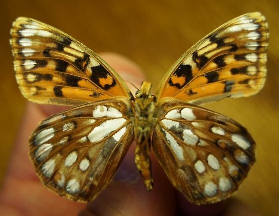 Fritillary ID - Speyeria - female