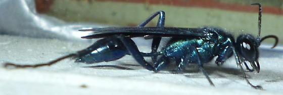 Large Wasp - Chalybion californicum - female