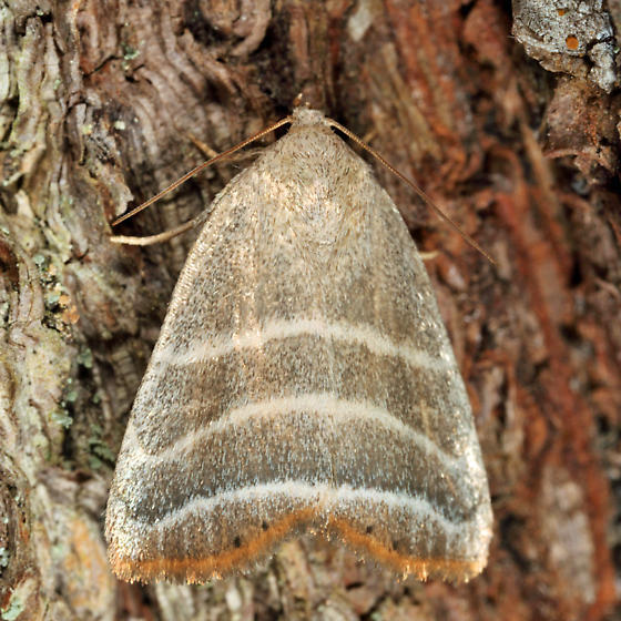 Straight Lined Mallow Moth - Bagisara rectifascia