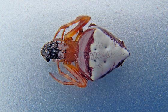 White Micrathena? - Verrucosa arenata