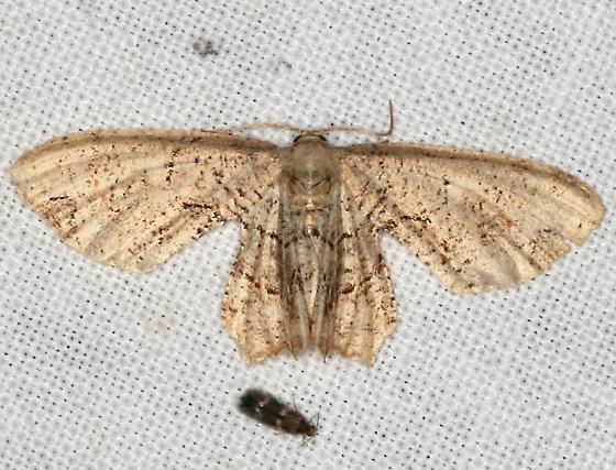 moth - Callizzia amorata