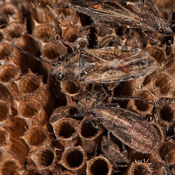 Bug - Neortholomus scolopax
