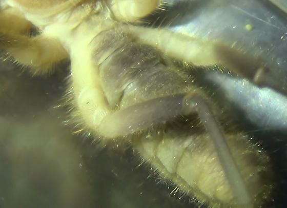 Large Solifugid with Sharp Jaws - Eremocosta striata - male