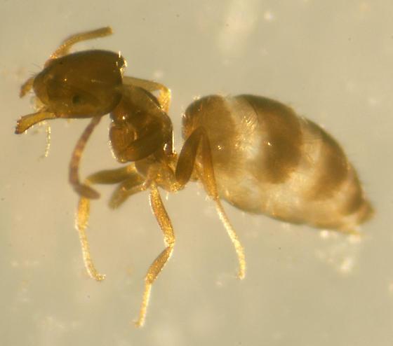 Unknown Ant - Brachymyrmex patagonicus - female