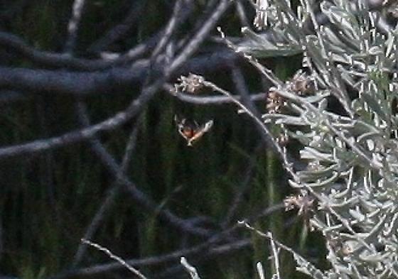 A. ida - Annaphila ida