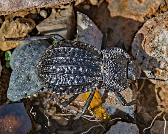Unknown Beetle 7786 - Philolithus sordidus